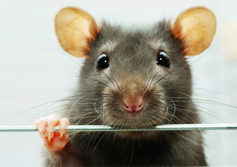 Ver Una Rata